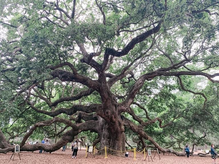 Angel Oak Tree, Charleston, SC