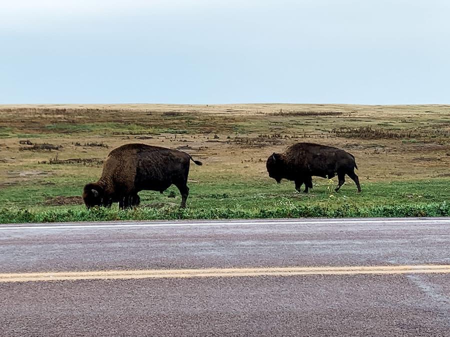 bison entering Badlands National Park
