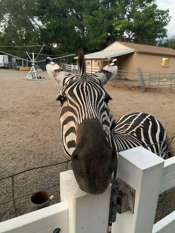 zebra in Draper